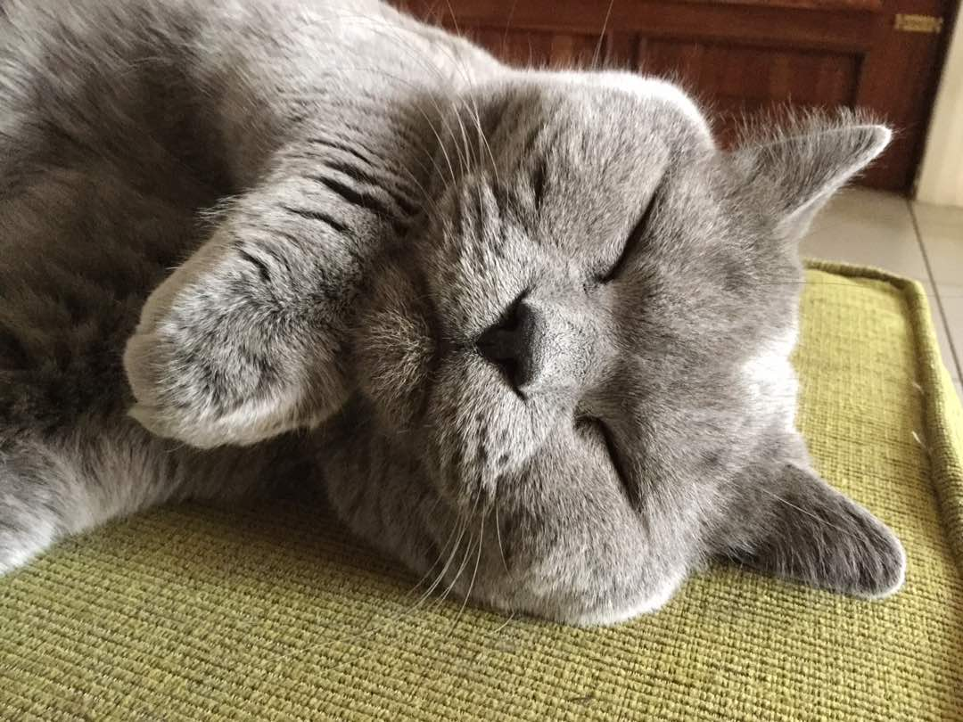 cute British Blue cat sleeping